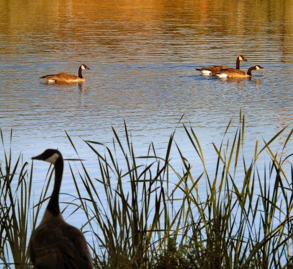 Hollydot pond 129