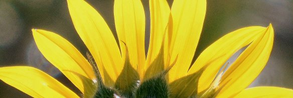 Sunflower, backlit