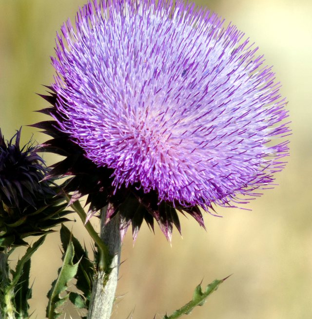 Thistle flower 009 mod