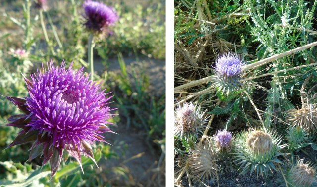 Thistle photo pair