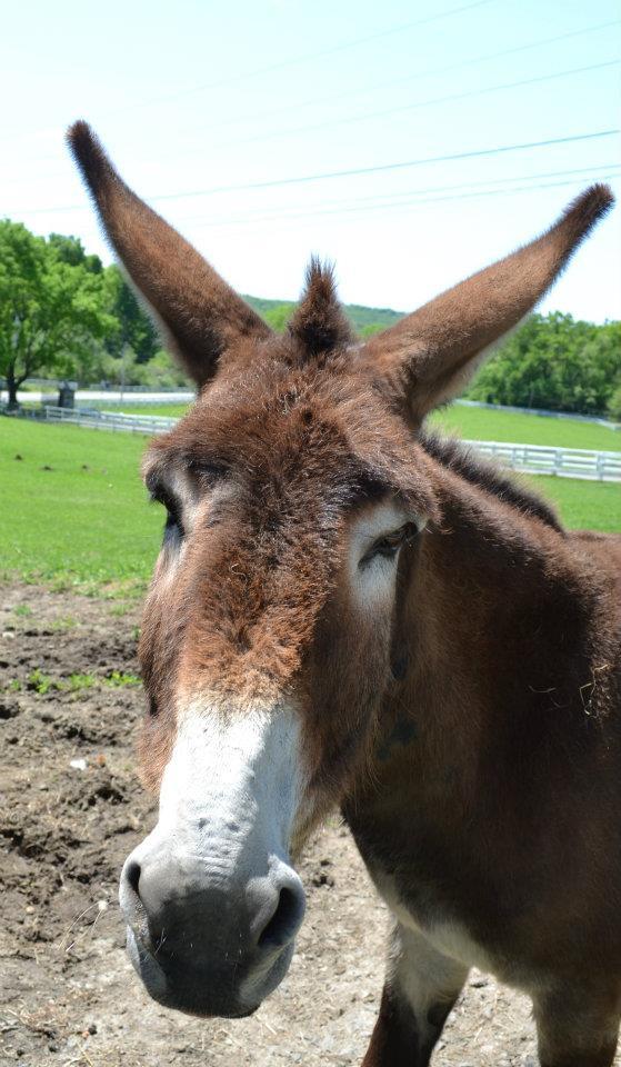 tilly foster donkey