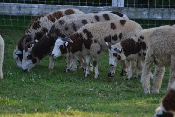 tilly foster goats 2