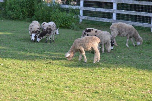 tilly foster sheep
