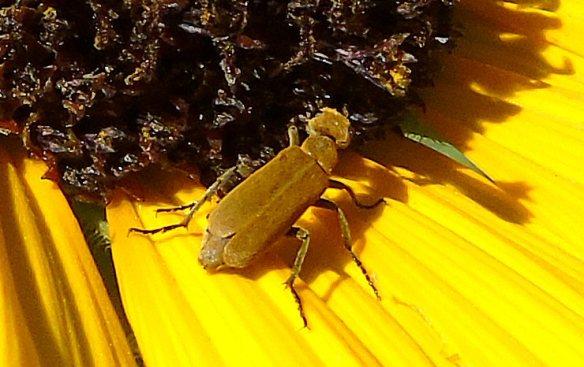Bug on Sunflower 353