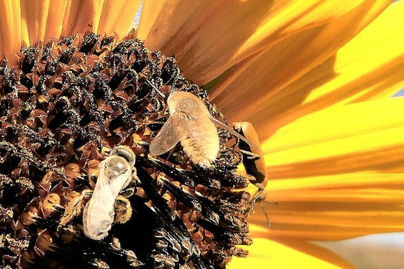 Busy bugs on a wild sunflower