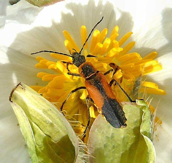 Happy Bug 312