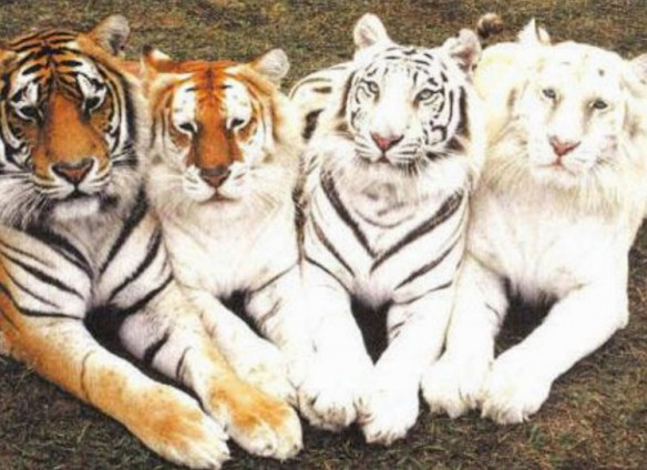 Four Shades of Tiger