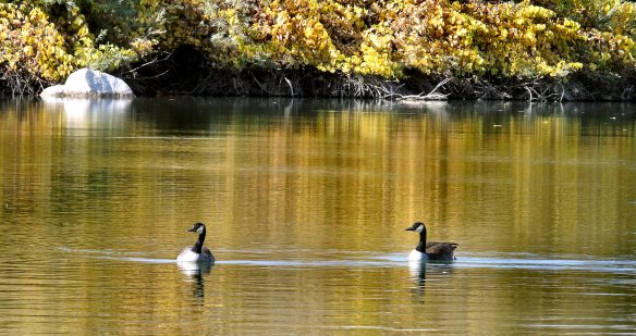 Geese at Beckwith 621