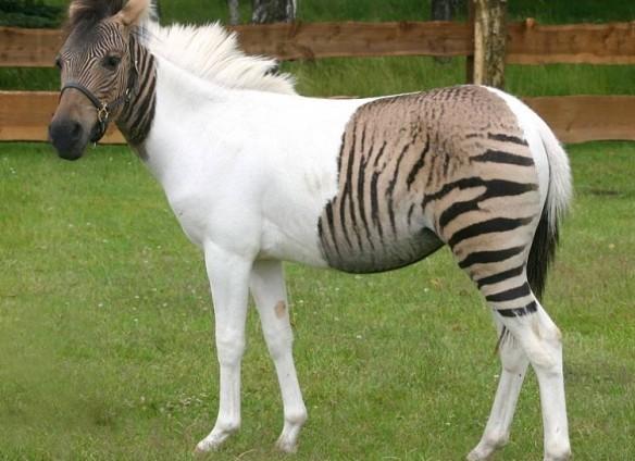 Horse or Zebra?