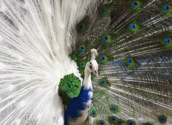 Half-white Peacock