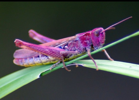 Pink Grasshopper (sounds like a drink!)