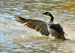 Goose 658