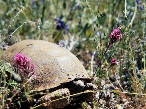 Desert Tortoise, circa 1980
