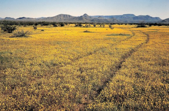 Wildflowers, North Phoenix, circa 1980