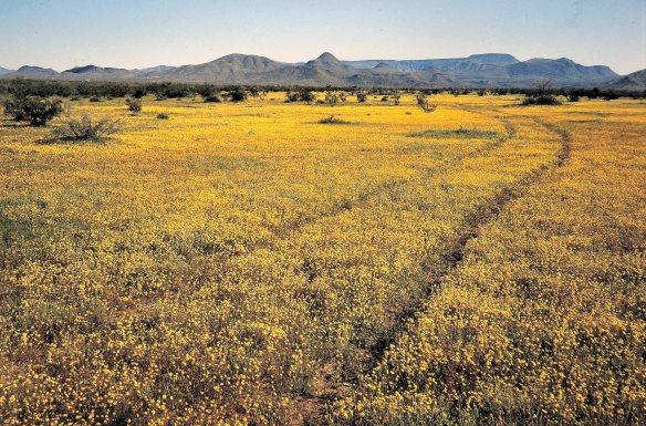 Wildflowers, North Phoenix, circa 1980