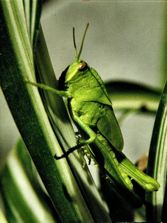Grasshopper, circa 1977