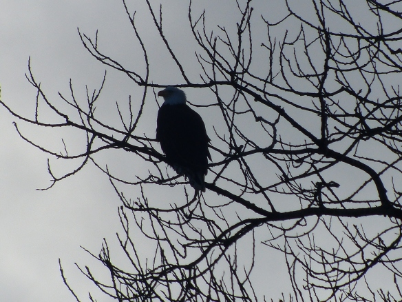 Bald Eagle hanging out in a tree near the river