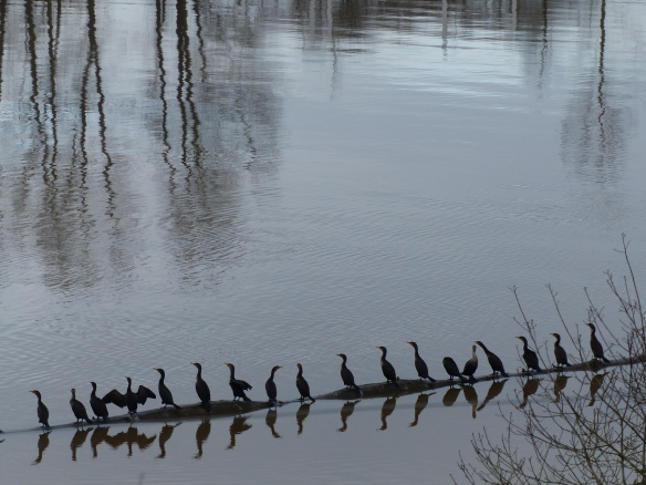 Lining up with the Cormorants