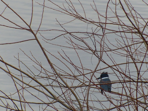 Belted Kingfisher -- He didn't want to stay still!