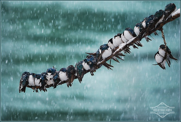 """Seemingly Surreal Swallows in a Snowstorm"" - photo by Keith Williams"