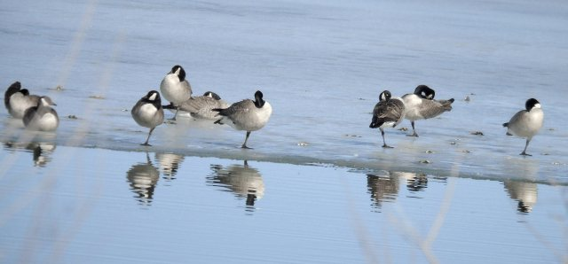Geese and reflections 801