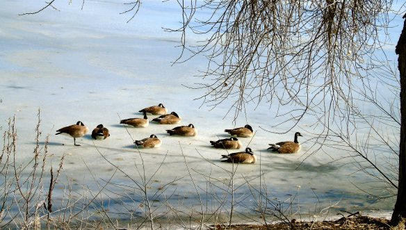 Geese on ice 798