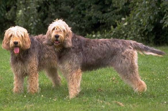 Otterhounds (photo courtesy of Wikipedia)