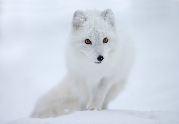 Arctic-fox-Wallpaper-arctic-fox-muzzle-eyes-snow