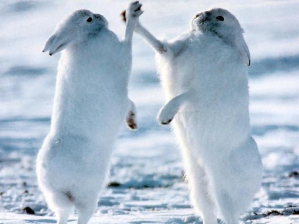 Arctic Hares High-Fiving