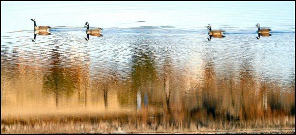 Geese 817 flip