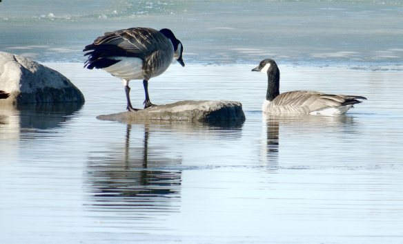 Geese Canadian and dark 857