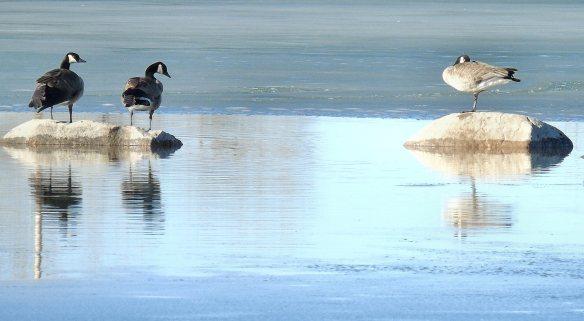 Geese rocks water ice 862