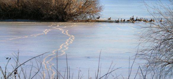 Icy goose prints 827