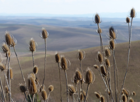 Dried thistles, Steptoe Butte, WA