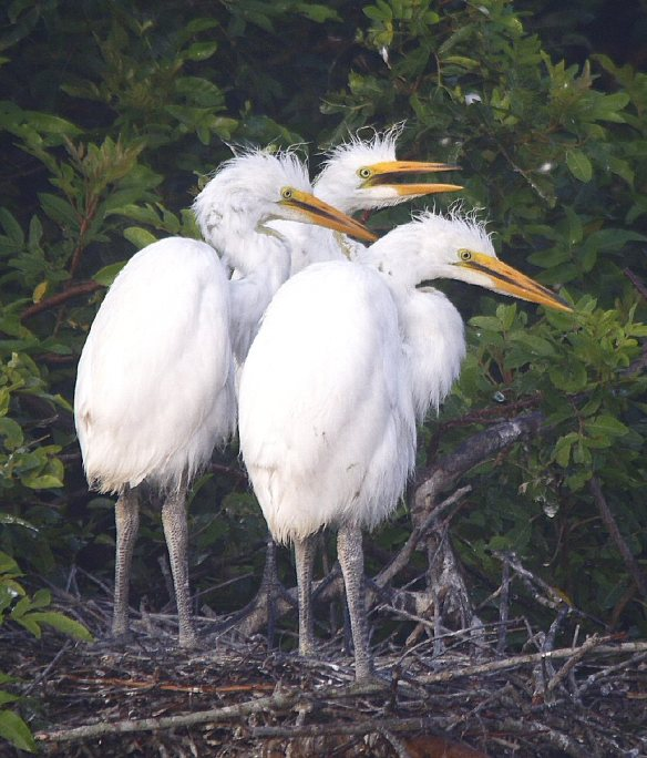 Great Egret Chicks photo by Denny Green