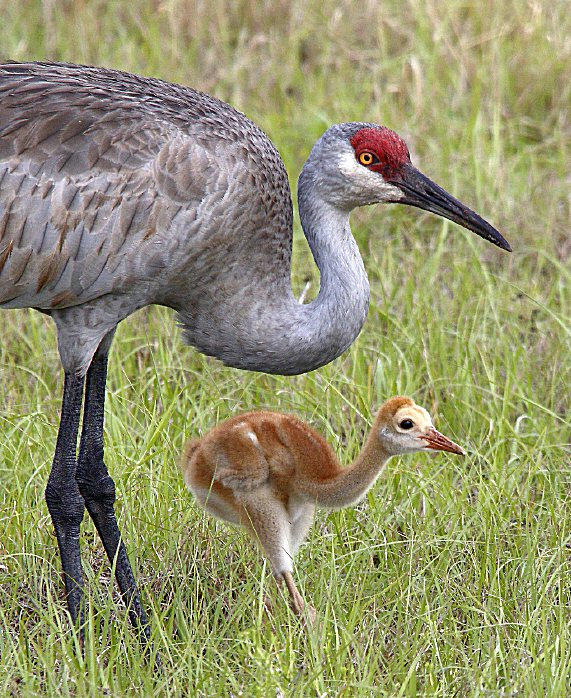 Sandhill Crane and Chick photo by Denny Green