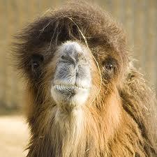 morning after camel