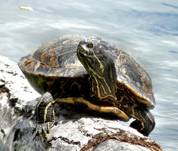Beckwith turtle 1227