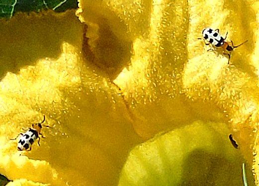 Bugs on Buffalo Gourd Blossom 331