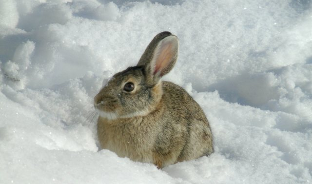 Cottontail in snow 958