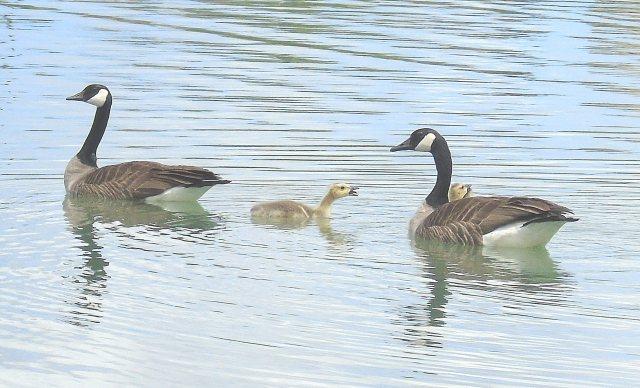 Geese & gosling 1233