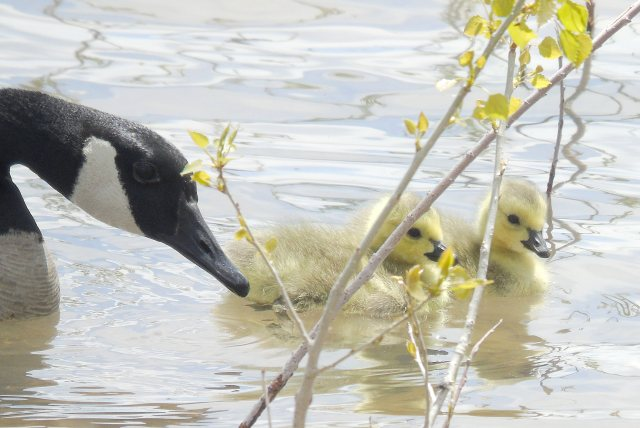 Goose and goslings 1092