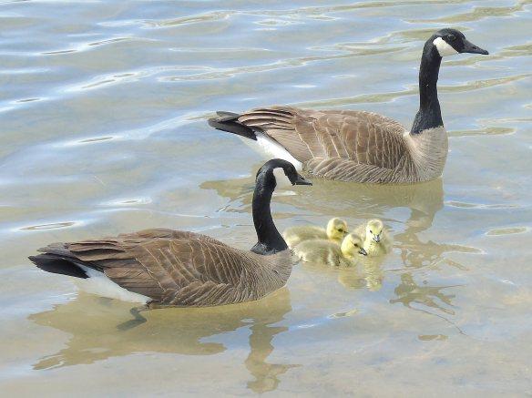 Goose family 1126