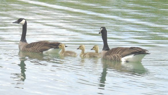 Goose family 1235