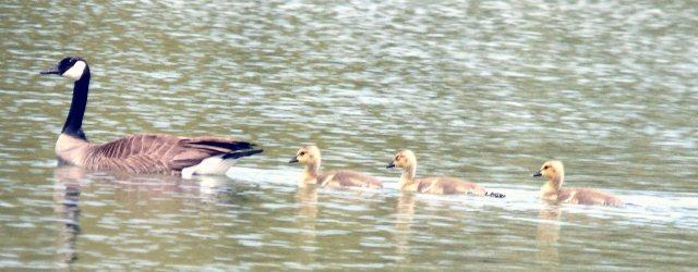 Goose family 1245