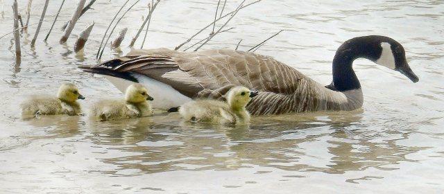 Goose family cr 1085