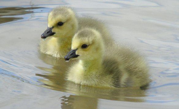 Gosling pair 1133
