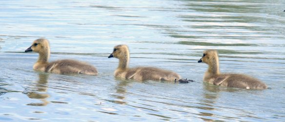 Goslings 1237cr