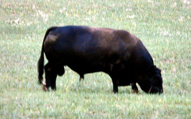 Pasture Bull 258