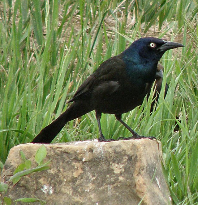 Bright-eyed Grackle